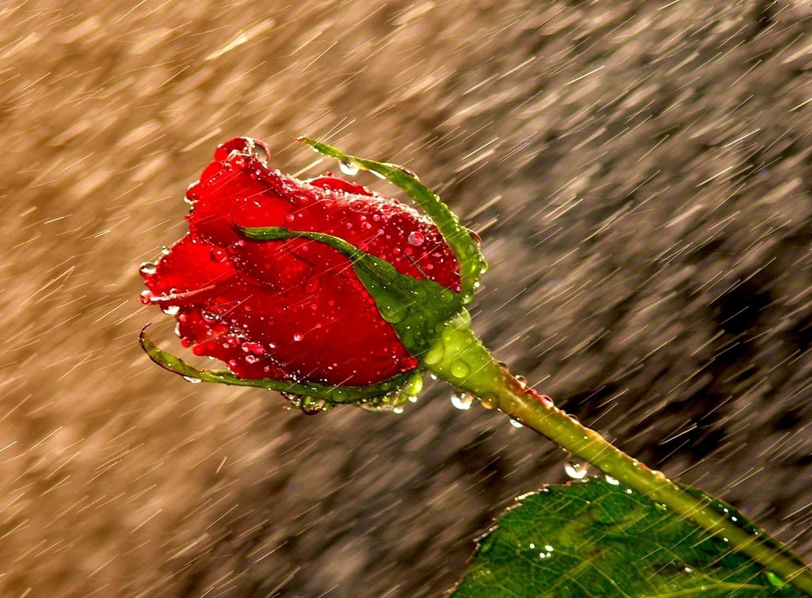 والپیپر گل رز