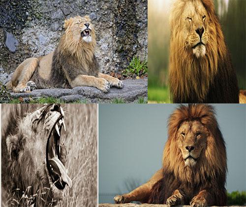 جدیدترین و قشنگترین عکس های سلطان جنگل شیرها