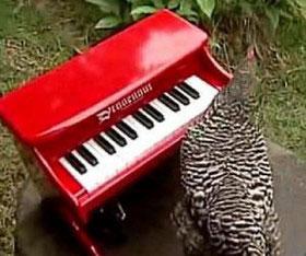 مرغ پیانیست