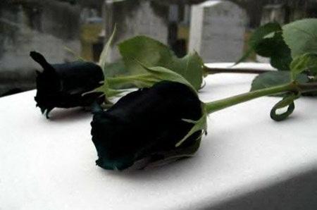 نادرترین گل رز دنیا