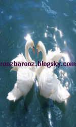 تصاویر زیبای از قوهای سفید