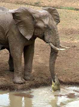 عکسهای گاز گرفتن خرطوم فیل توسط یک کروکودیل