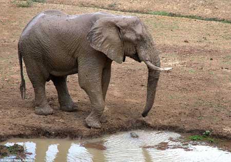 گاز گرفتن خرطوم فیل توسط یک کروکودیل