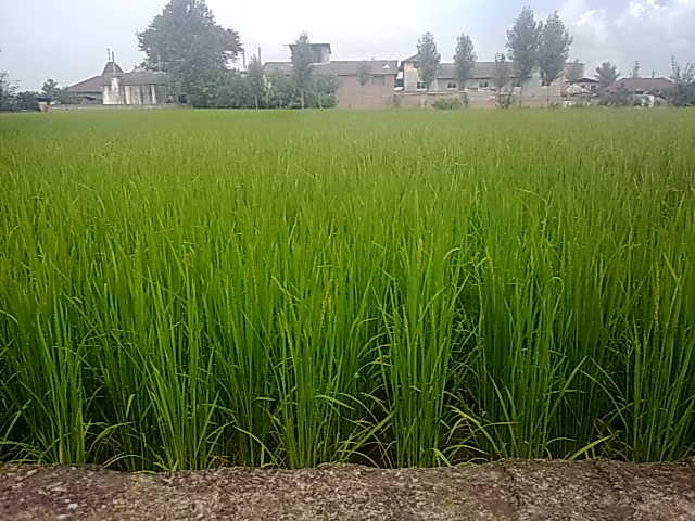 این عکس زیبا از شالی روستای شهید آباد (بایکلا) می باشد.