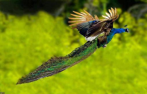 رواز طاووس (تصاویر زیبا)!