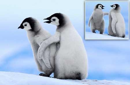 بچه پنگوئنی که دست دوستش را گرفت تا به او راه رفتن یاد دهد!