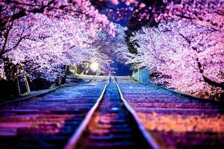 عکس شکوفه های گیلاس در ژاپن!