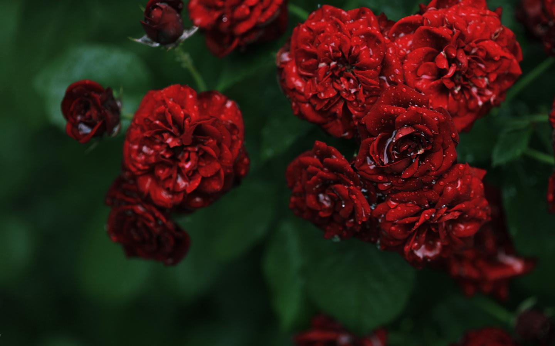 عکس های بسیار زیبا از گل های نرگس