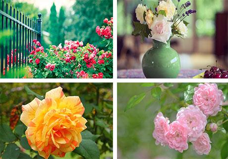 عکس های گل های محمدی
