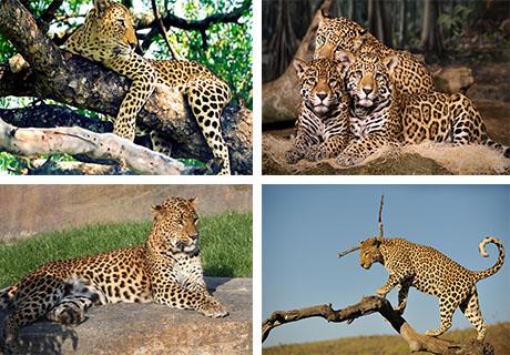 عکس های پلنگ و یوزپلنگ
