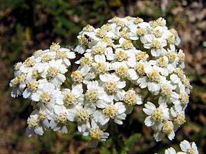 گیاهان دارویی برای درمان اسهال