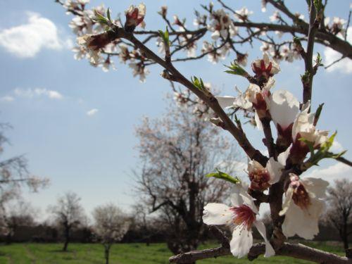 شکوفه زدن درخت بادام