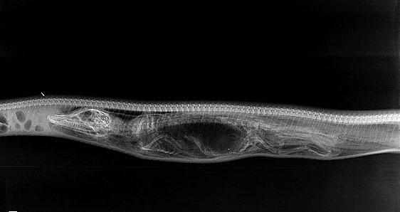 تصاویر مراحل گوارش تمساح در شکم مار پیتون