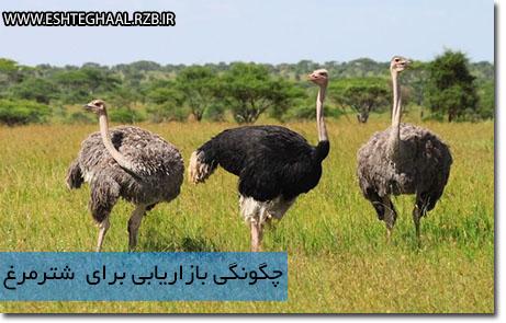ostrich - چگونه به بازاریابی شترمرغ بپردازیم