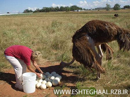ostrich and eggs - چگونه به بازاریابی شترمرغ بپردازیم
