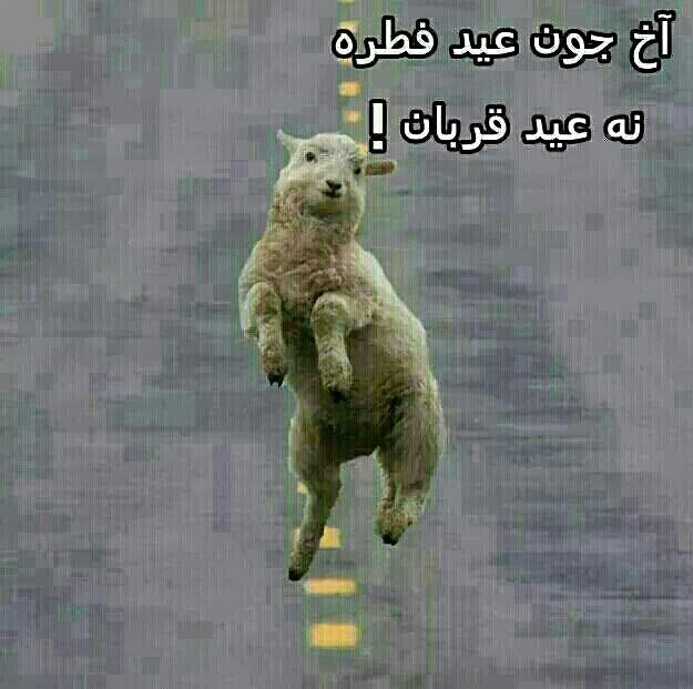 خوشحالیه گوسفندان از عید فطر