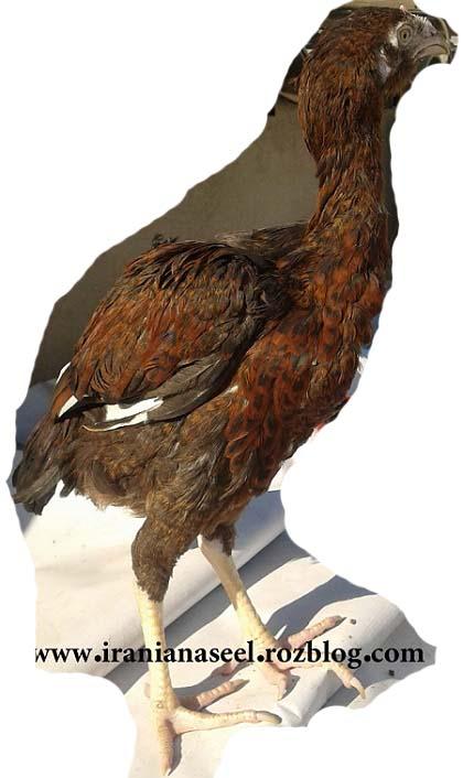 جوجه خروس پر مرغی ریشو