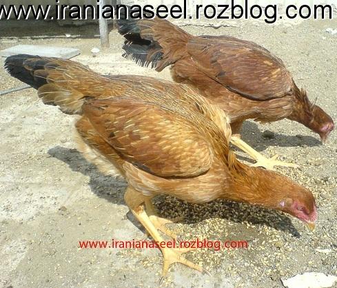 مرغ های بسیار اصیل فرمن