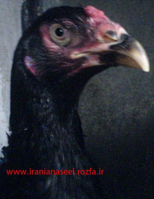 مرغ بسیار اصیل و لاری افغان