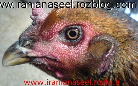 مرغ چشم شادونه ایی و قلم سربی از نژاد شامو