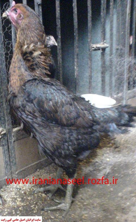 مرغ لاری 6 دانگ