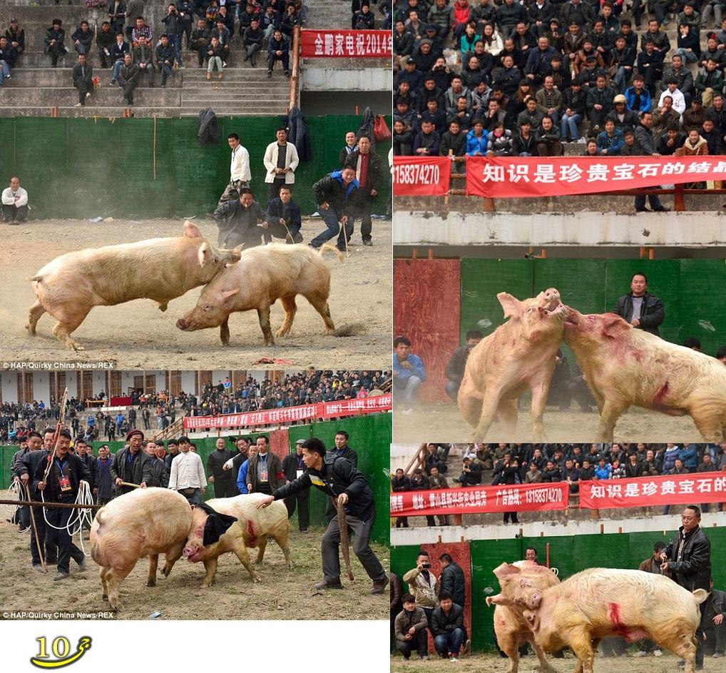 برگزاری مسابقات جنگ خوک در چین+عکس