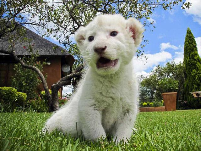 بچه شیر سفید