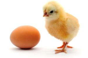 کوچکترین تخم مرغ جهان رکورد گینس را شکست! / عکس