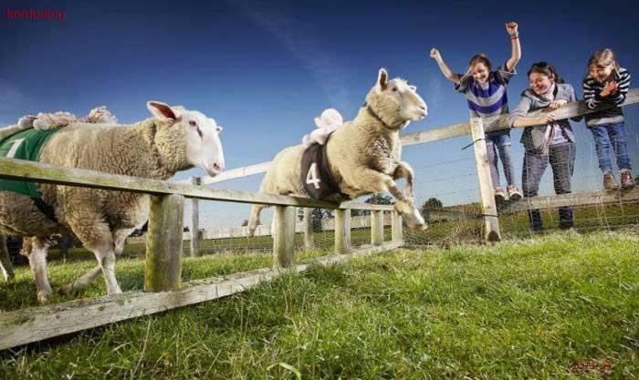 سریعترین گوسفند