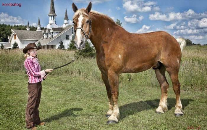 بزرگترین اسب