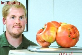 گوجهفرنگی غولپیکر در انتظار گینسی شدن