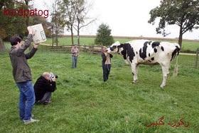 قدبلندترین گاو جهان گینسی شد