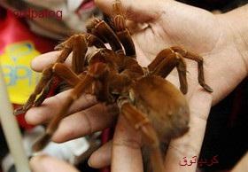 بزرگترین عنکبوت جهان گینسی شد