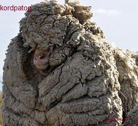 پشمالوترین گوسفند جهان+عکس