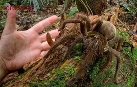 کشف عنکبوت غولپیکری که رکورد گینس را شکست