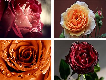 عکس های فوق العاده زیبا از گل