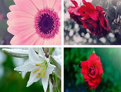 عکس های بسیار زیبا از قشنگترین گل های جهان