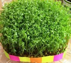 درست کردن سبزه عدس برای عید نوروز
