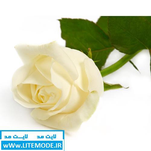 گل ترین گل های دنیا