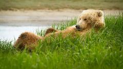 grizzly_bear_grass_lie_funny -low.jpg (240×135)