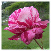 عکس های گل رز زیبا باکیفیت سایز بزرگ (4)
