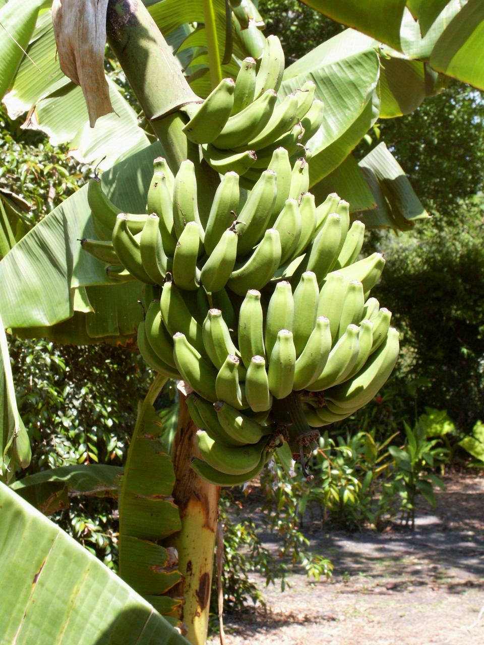 موز Banana