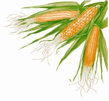 ذرت Corn