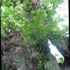 كهن ترين درخت چنار جهان در نيشابور
