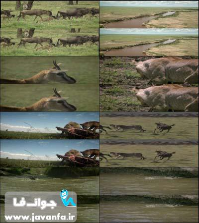 دانلود مستند سه بعدی مهاجرت حیوانات The Wildebeest Migration 3D