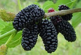 خواص توت سیاه