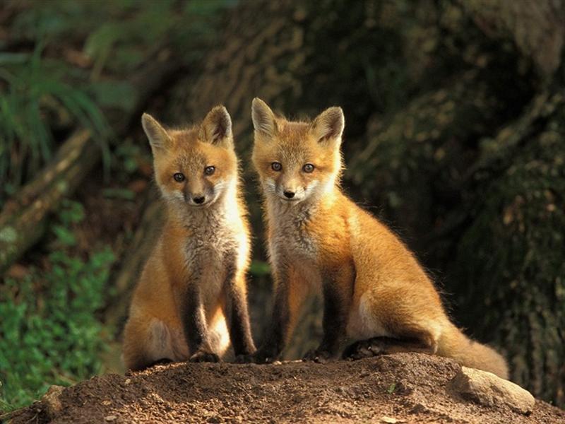 عکس های قشنگ ورباه قرمز red fox photos