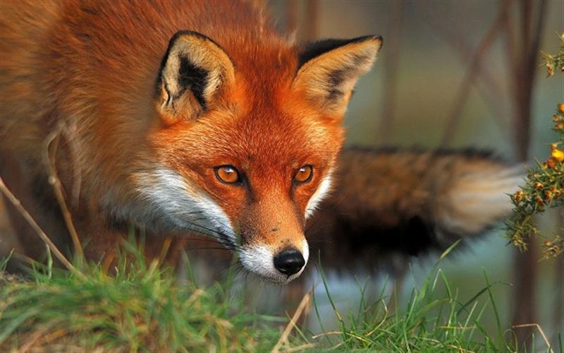 عکس های قشنگ روباه قرمز red fox photos