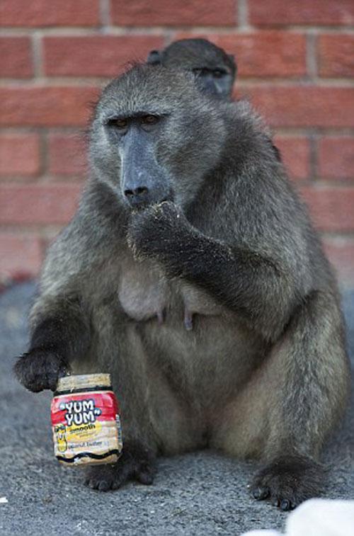 عکس های خنده دار میمون ها عکس باحال میمون ها