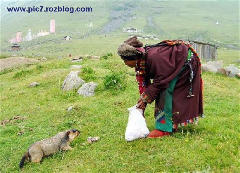 عکس های  قشنگ پیرزن تبتی در حال غذا دادن به حیوانات